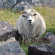Read more about: Sheep in Greenland